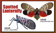 Spotted Lanternfly has Landed in PA and Homeowners Need to be Aware of these Troublesome Insects