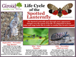 The Life Cycle of the Spotted Lanternfly