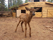 Tiny Elk Calf and Pronghorn Fawn Rescued by Bearizona Make Their Public Debut