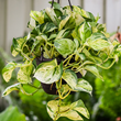 Millennials Can Improve Their Health With Exotic Angel Plants From Costa Farms