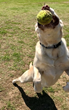 Labrador Retriever Gets Back to Playing Fetch After Receiving VetStem Regenerative Stem Cell Therapy
