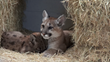 Two Newly Orphaned Mountain Lion Cubs Receiving TLC at Oakland Zoo