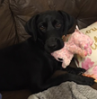 VetStem Biopharma Shares News of the Successful Treatment of Partially Torn Cruciate Ligament in Young Labrador Retriever with the Pall V-PET™ Platelet Therapy System