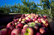 27 Years in the Making, UMD Releases Multiple New Apple Varieties Starting with the Harvest of Antietam Blush