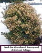 Winter Burn Damages Evergreens, So the Experts at Giroud Tree and Lawn Urge Homeowners to Have a Certified Arborist Apply Anti-Dessicant Before Winter Arrives
