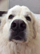 VetStem Biopharma is Pleased to Share the Success Story of Jack, a Great Pyrenees who was Treated with Stem Cell Therapy by Dr. Andrea Hayes