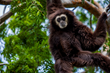 Oakland Zoo Bids Bittersweet Farewell to Nikko the Gibbon, to Create 'Blended' Family at Santa Barbara Zoo