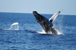 Oahu Tour Company Introduces Whale Watching Cruises This Winter