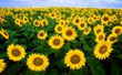 21st Annual Sunflower Trail and Festival to be Held on Saturday, June 15 in Gilliam