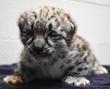 The snow leopard cub at 2 weeks old.