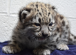 The snow leopard cub at 3 weeks old.