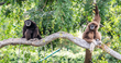 Gibbons are Back in Town- Oakland Zoo Welcomes New Whitehanded Gibbon Couple
