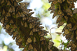 Virtual Reality Immerses Viewers in Monarch Butterflies' 3000-Mile Migration