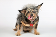 Scamp The Tramp becomes Scamp The Champ at the 2019 World's Ugliest® Dog Contest