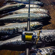 2019's Oregon Coho Salmon Run Is Largest In Recent Years