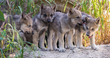 UPDATE -- Grey Wolf Pups Thriving; Reach Six Week Milestone at Oakland Zoo