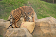 Hamerton Zoo Park Global Tiger Day Event - 29th of July 2019