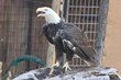 Bearizona Welcomes Vernon the Bald Eagle on Veterans Day