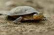 First Reserve Created for Critically Endangered Dahl's Toad-Headed Turtle