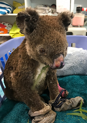 Over 1 billion animals have died in the Australia bushfires, but the survivors are getting relief from Multi Radiance Medical Super Pulsed Laser Therapy