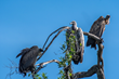 UMD's SESYNC International Vulture Collaboration Addresses Vulture Poisoning in Southern Africa with Global Implications for Disease Control and Biodiversity Conservation