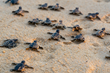 Sunset World Group Updates Sunset Royal 2020 Sea Turtle Season Information