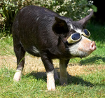 Berkshire - Kurobuta Pig in Sunglasses
