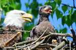 A female eagle cares for its one-month-old eaglet near the former town of Beaver in the Whitewater Management Area north of St. Charles. Photo for the Post-Bulletin by Lisa Loucks Christenson
