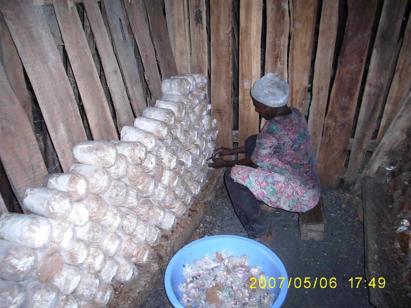Ghana S Mushroom Crisis Oyster Mushroom Farmers Seek