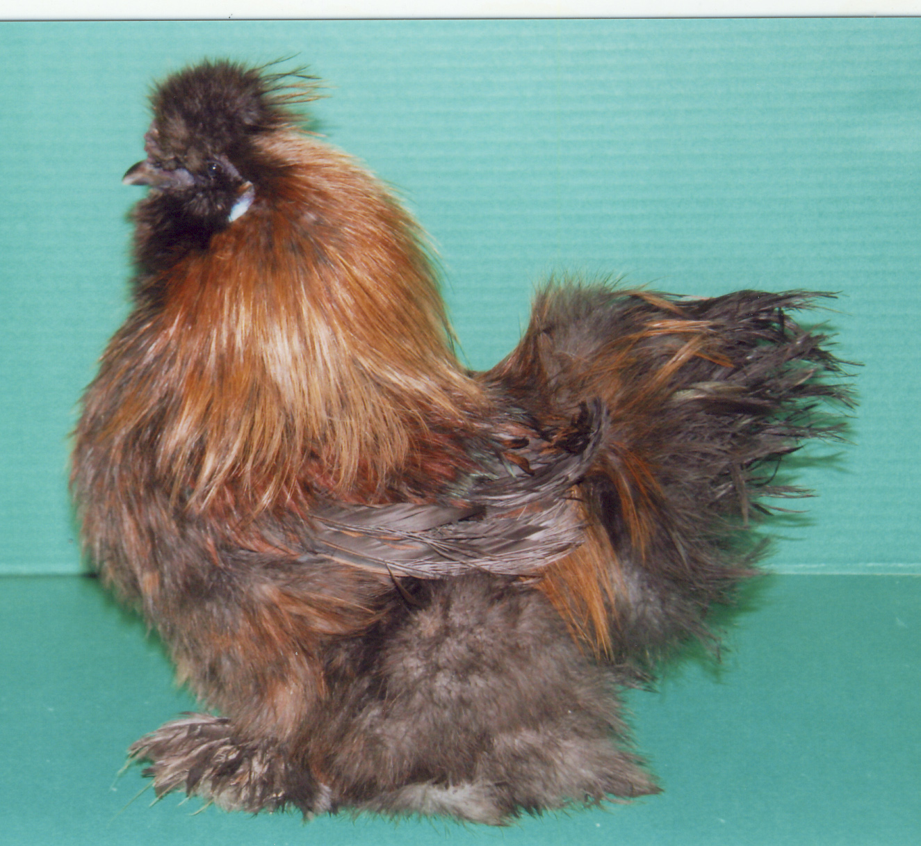 Amber Waves Bearded Bantam Silkie Chickens Available for Purchase