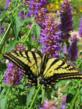 Agastache 'Blue Blazes' offers gardens a complete pollinator package.