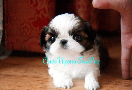 miniature shih tzu full grown onceuponateapup com now handles all teacup puppy sales 5538