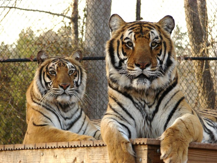Feline Conservation Federation Ends Speculation about Texas