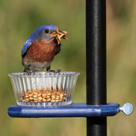 Bluebird Enjoying Mealworms