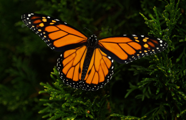 A Dangerous Decline In Butterflies Start Your Monarch