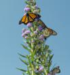 Attract Masses of Monarchs!