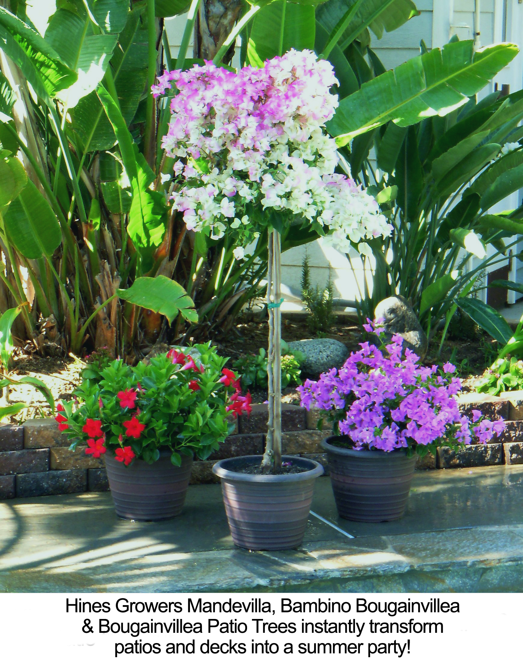 New Plants from Hines Growers Add Firework Colors to Fourth of July ...