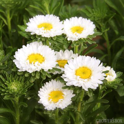 The growers box announces the addition of aster matsumoto flowers white aster matsumoto flowerswholesale flowers and wedding flowers by the growers box mightylinksfo