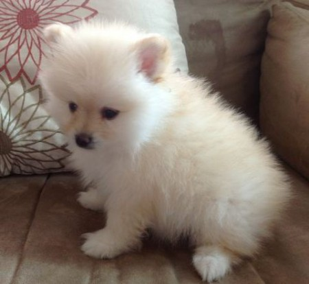 Cutepompuppiescom Announces New Holiday Offer On Pomeranian Puppies