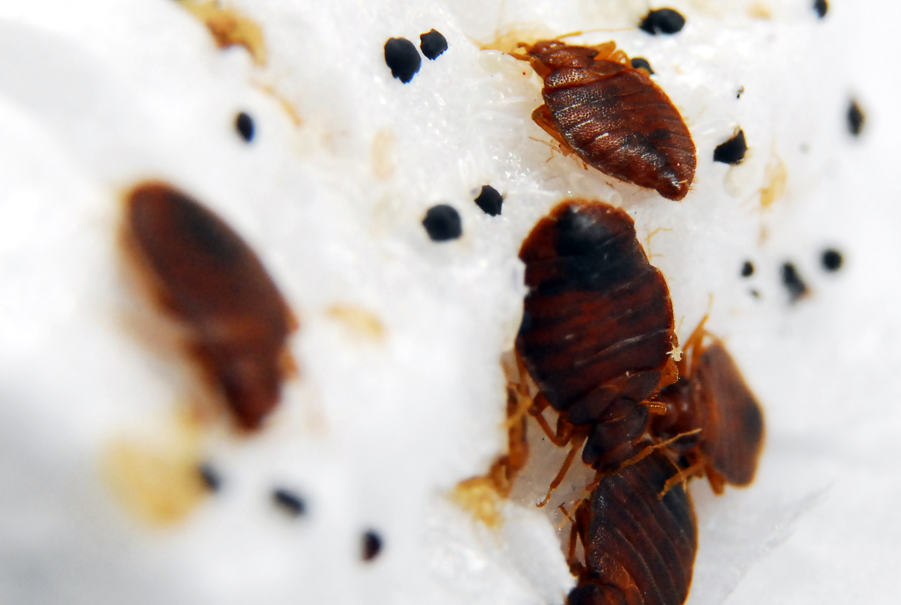 How to Check for Bed Bugs in Houses, Hotels and Offices ...