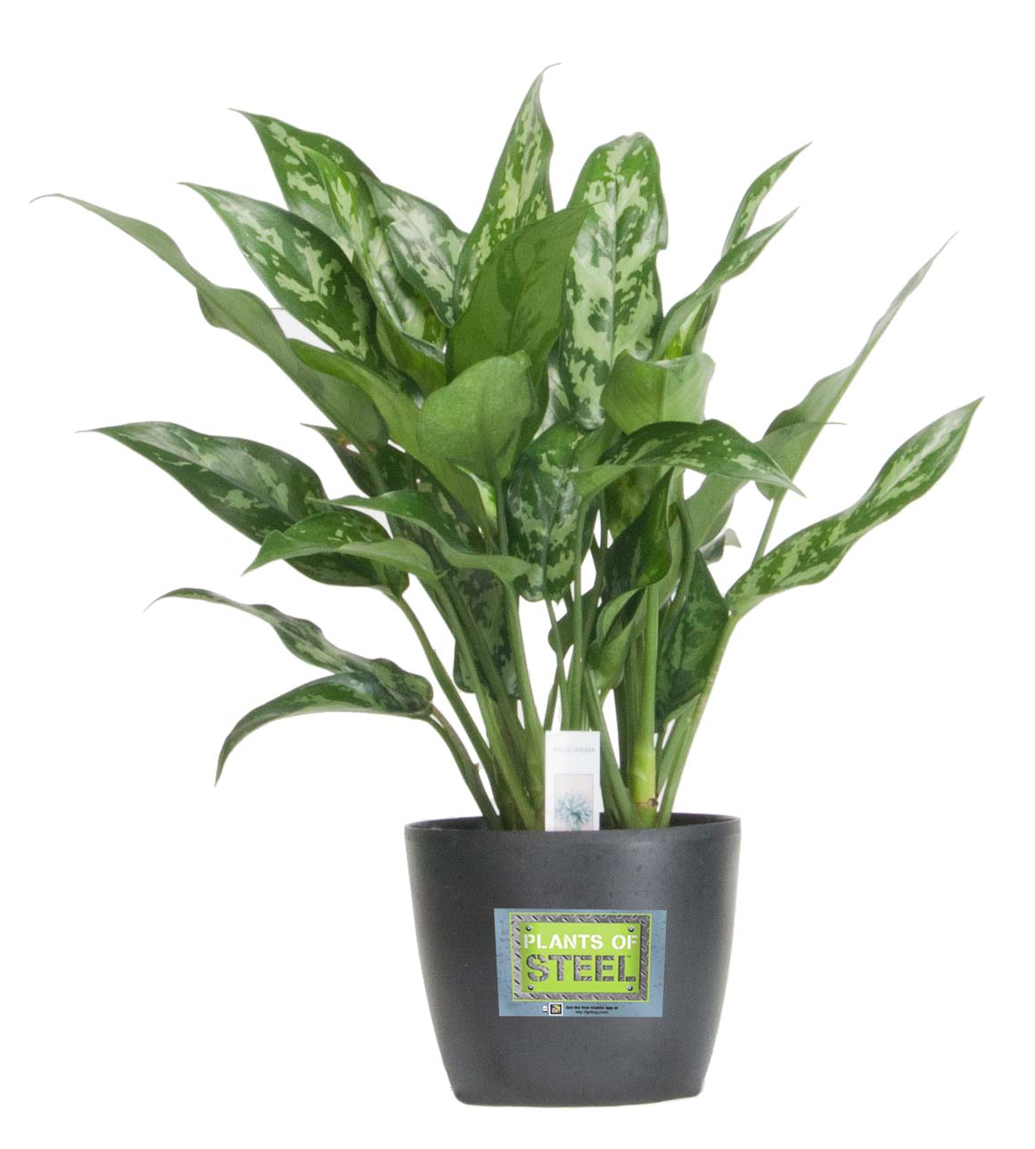 Costa Farms Introduces Durable Plants Of Steel Houseplant