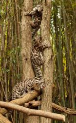 adolescent clouded leopards climb tree at Nashville Zoo