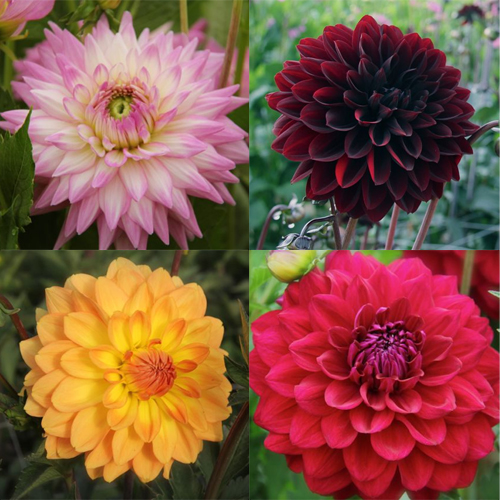 Wedding Flowers In Bloom Dahlias Delivered For Fall Weddings