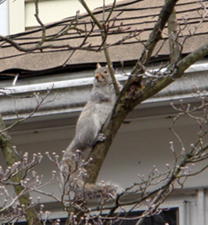 Squirrels often use trees to gain access to houses. Tree trimming can reduce the risk.