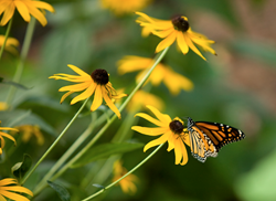 Butterfly gardens include plants for pollinators