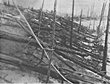 Fig.2. Another view of the  devastation caused by the 1908 Tunguska explosion.