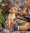 Hunters Creek Retrievers Champion Labradors for Field & Family!