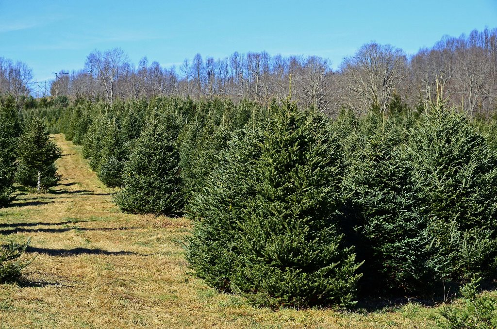 Find The Perfect Christmas Tree At A Choose-and-Cut Farm