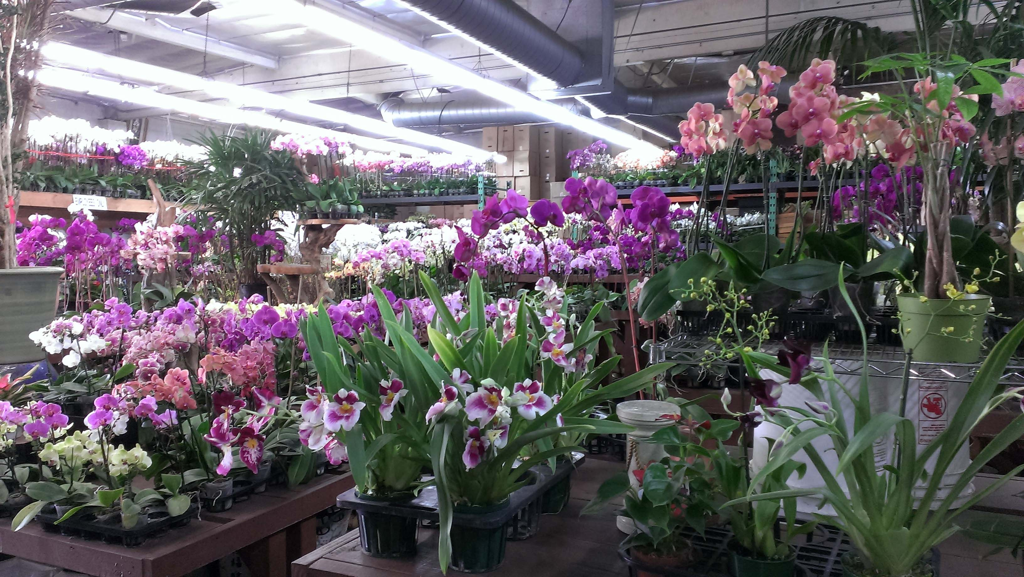 California Flower Mall Choi Orchids Blooms With Wholesale