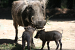 Two Litters of Baby Warthogs Born at Oakland Zoo